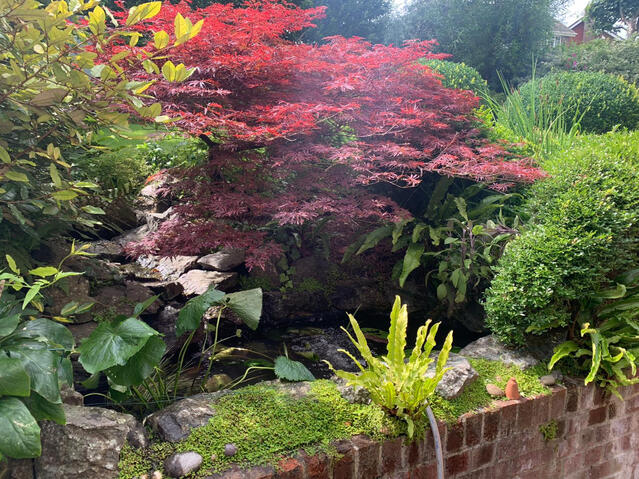 Acer trees overhanging small garden pond