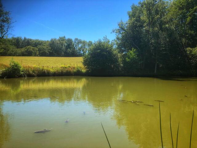 Carp at the surface of a Herrings Farm lake